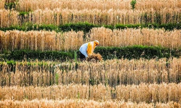 Giá lương thực lên đỉnh gần 10 năm, doanh nghiệp khó, nông dân lợi