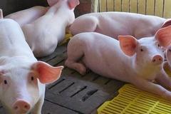 Một công ty nuôi lợn chia cổ tức tiền mặt gần 123%