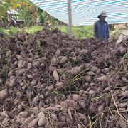 Vĩnh Long còn khoảng 3.000 ha khoai lang chưa thu hoạch