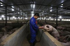 Giá thịt heo thế giới giảm theo thị trường Trung Quốc
