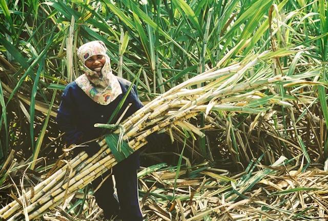 Bắt đầu nhận hồ sơ đề nghị miễn trừ biện pháp chống bán phá giá đường mía Thái.