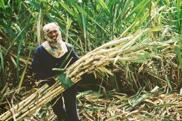 Bắt đầu nhận hồ sơ đề nghị miễn trừ biện pháp chống bán phá giá đường mía Thái