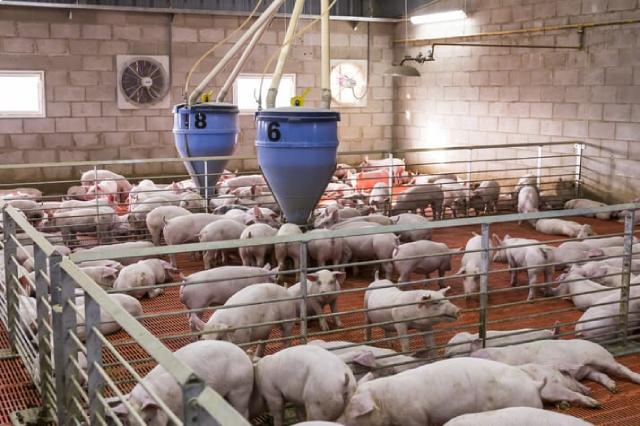 Giá thịt heo lao dốc, Trung Quốc tranh thủ mua tích trữ