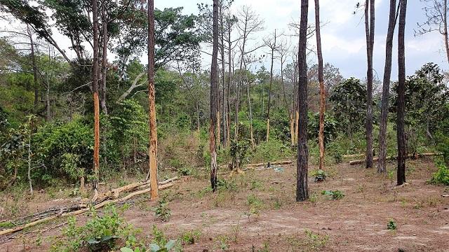 Rừng thông trên đường vào UBND xã Tà Hine bị ken gốc chết đứng trong suốt mấy năm qua