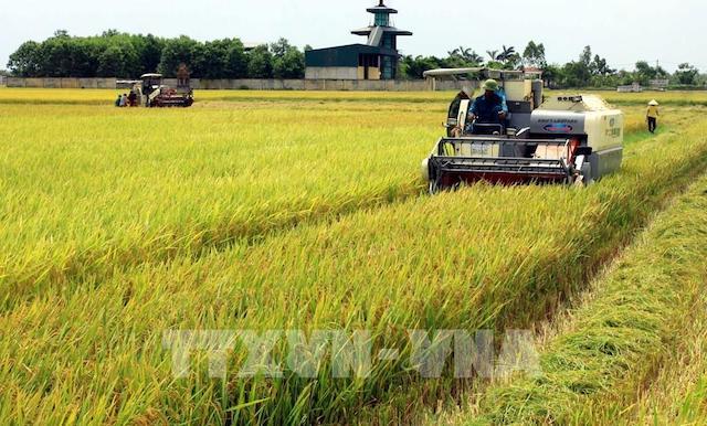 Giá gạo tại các 'vựa lúa' hàng đầu châu Á đều giảm.