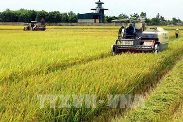 Giá gạo tại các 'vựa lúa' hàng đầu châu Á đều giảm