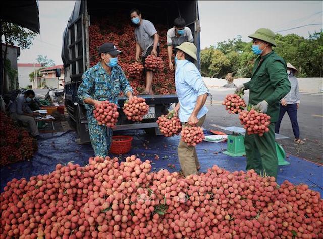 Hơn 6.800 tỷ đồng từ vải thiều, Bắc Giang 'thành công trong gian khó'