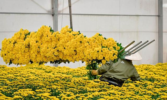 700.000 cành hoa cúc xuất khẩu phải hủy bỏ vì vướng quy định