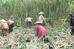 Áp thuế phòng vệ thương mại, ngành mía đường trong nước vẫn lao đao