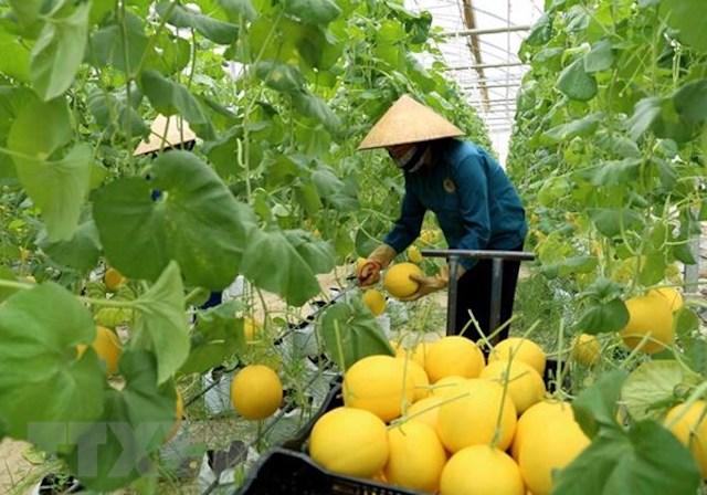 Doanh nghiệp có thể được ưu đãi 9 năm lãi vay và hỗ trợ 10 tỷ đồng khi đầu tư vào nông nghiệp. Ảnh: TTXVN