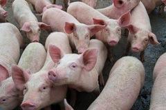 Trung Mỹ lo ngại nguy cơ lây lan dịch tả lợn châu Phi