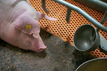 An ninh thịt lợn ở Trung Quốc: Lợn được nuôi trong 'khách sạn' cao tầng