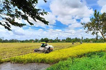 Nông dân gặp khó vì giá lúa giảm, giá phân bón tăng