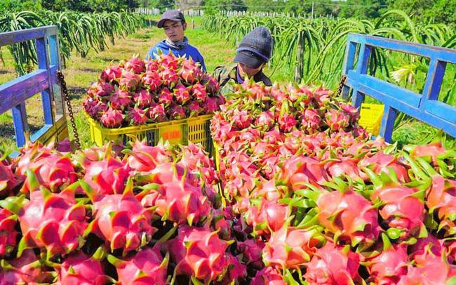 Trung Quốc tạm dừng nhập khẩu, giá thanh long giảm sâu
