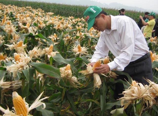 Tăng diện tích trồng ngô để giảm phụ thuộc nguồn nguyên liệu nhập khẩu