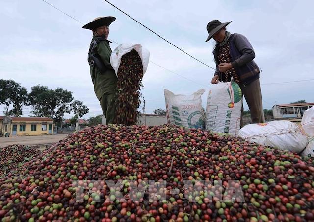Giá cà phê cuối tuần sụt giảm do lo ngại dịch Covid-19 bùng phát