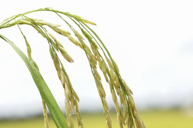 Giá gạo xuất khẩu xuống mức thấp do dịch kéo dài