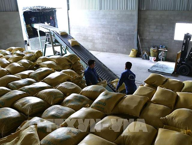Vận chuyển gạo xuất khẩu tại Doanh nghiệp tư nhân Chế biến nông sản Quang Vũ, xã Phước Lộc, huyện Tuy Phước, tỉnh Bình Định. Ảnh: Vũ Sinh – TTXVN.
