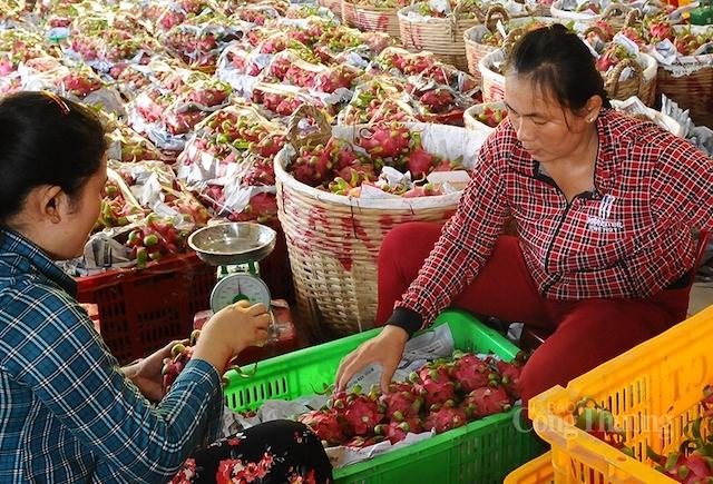 Các đơn vị thuộc Bộ Công Thương đang nỗ lực xúc tiến tiêu thụ cho nhiều loại nông sản, trong đó có trái thanh long.