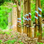 Thu hồi hơn 114 ha đất Cao su Đồng Phú làm 2 cụm công nghiệp tại Bình Phước