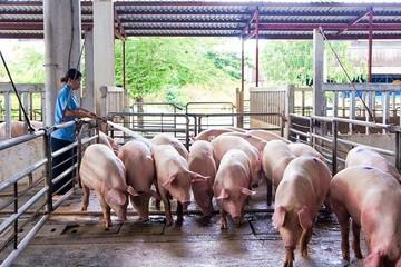 Ngành chăn nuôi nguy cơ đứt gãy chuỗi sản xuất