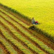 Đồng Tháp gửi 'thư' tới 2 công ty lương thực cùng 5 tỉnh, thành xin hỗ trợ thu mua lúa gạo