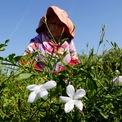 <p> Mỗi chai Chanel No.5 có dung tích 30ml tượng trưng cho thế giới bên kia của 1.000 bông hoa nhài và 12 bông hồng. Hoa nhài thường được thu hái trước 1 giờ trưa để đảm bảo hoa không bị héo và đúng thời điểm đang thơm nhất. Ảnh: <em>Reuters</em></p>