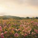 """<p class=""""Normal""""> Khi hoa hồng nở, toàn bộ 50 mẫu của nông trại phải được thu hoạch bằng tay trong hai tuần. Mul làm việc với con rể của mình, Fabrice Bianchi, để giám sát một đội nông dân bao gồm hơn 70 người. Khoảng 70 tấn hoa hồng sẽ được thu hái trong thời điểm này. Ảnh:<em>minimalblanc / Instagram</em></p>"""