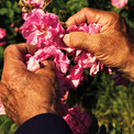 """<p class=""""Normal""""> Loại hoa này được đánh giá cao vì có hương thơm ngọt ngào, trong trẻo. Nếu ví nó là như nhạc cụ thì rất có thể một cây sáo sẽ là phù hợp nhất. Điều đặc biệt là Joseph Mul khi nhắm mắt vẫn có thể cảm nhận được bông hoa hồng nào đã đến thời điểm thu hoạch, giống như cách cảm nhận rượu vang vậy, khi nào thì có thể uống được, và uống ngon nhất được.<span>Ảnh:</span><em>The New Yorker</em></p>"""