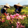 """<p class=""""Normal""""> Mỗi chai nước hoa Chanel No.5 sẽ dùng 1.000 bông hoa nhài và 12 bông hoa hồng. Có một nhà máy đã được xây dựng giữa cánh đồng để chưng cất những bông hoa tươi vừa thu hoạch.<span>Ảnh:</span><em>The New Yorker</em></p>"""