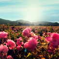 """<p class=""""Normal""""> Hoa hồng làm nên Chanel No.5 là loài Rosa Centifolia hay còn gọi là hoa hồng """"trăm cánh"""", hoặc hoa hồng bắp cải. Những cánh hoa xếp chồng lên nhau thường có xu hướng rủ xuống bởi sức nặng.<span>Ảnh:</span><em>The New Yorker</em></p>"""