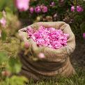 """<p> Khi hoa hồng được thu hoạch, dầu của chúng phải được chiết xuất nhanh chóng, trước khi hoa bắt đầu lên men. Hoa được đựng trong những chiếc bao tải màu nâu, mỗi bao quy chuẩn chỉ nặng đúng 10kg để chuyển về nhà máy trước khi chúng kịp nhỏ lại. Ảnh:<em style=""""color:rgb(0,0,0);"""">minimalblanc / Instagram</em></p>"""