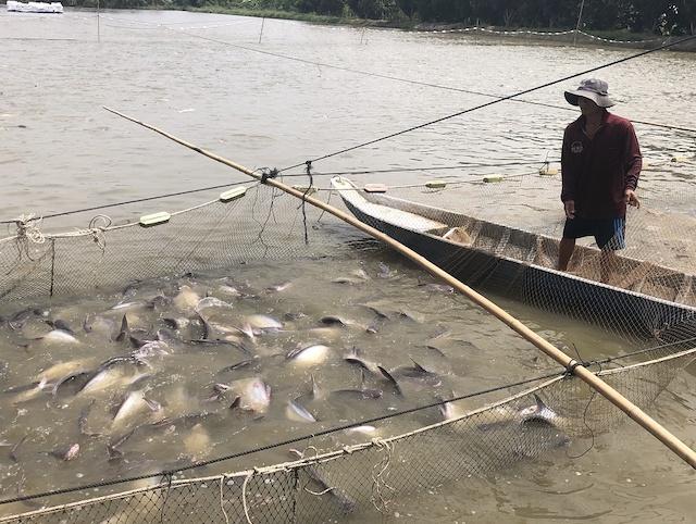 Nuôi cá tra tại xã Tân Thành A, H.Tân Hồng, Đồng Tháp