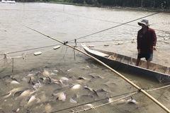 Hàng ngàn tấn cá tra nằm ao, nông dân lỗ nặng