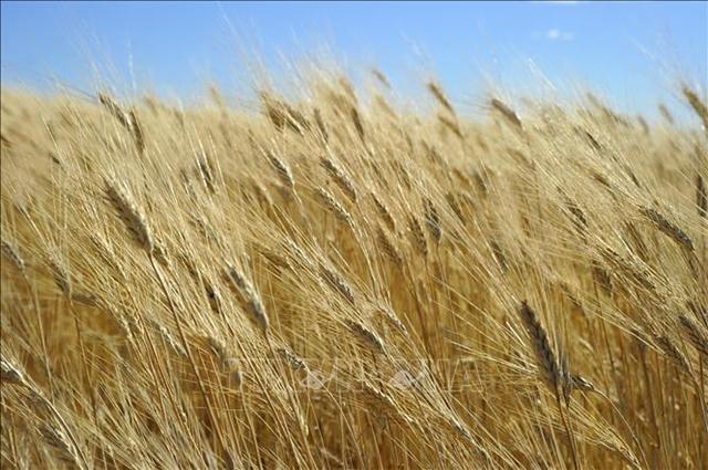 Một cánh đồng lúa mì ở gần Tioga, bang Bắc Dakota, Mỹ. Ảnh: AFP/TTXVN