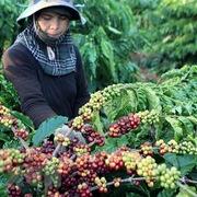 Kim ngạch xuất khẩu cà phê sang thị trường Anh giảm