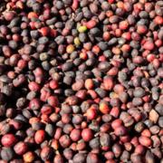 ICO: Thế giới sẽ thiếu cà phê đáng kể trong niên vụ tới