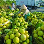 Ùn ứ hàng nghìn tấn nông sản mỗi ngày ở Vĩnh Long