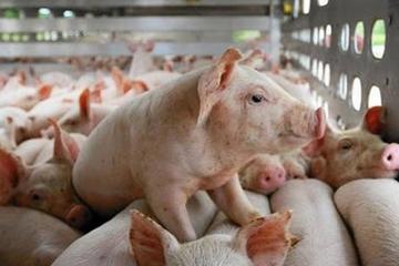 Dự án chăn nuôi công nghệ cao 2.500 tỷ của Xuân Thiện Group được chấp thuận chủ trương đầu tư