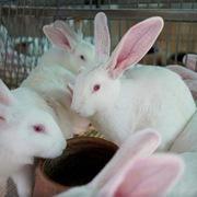 Philippines ngày càng tiêu thụ nhiều thịt thỏ