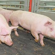 Giá thịt lợn giảm sâu để lại cho các nhà sản xuất hàng đầu Trung Quốc đống nợ vay tăng gấp 3 lần