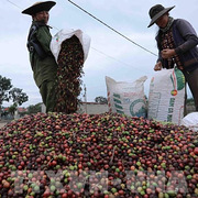 Dự báo xuất khẩu cà phê sang Hàn Quốc tăng trong thời gian tới