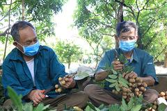 Nhãn Hưng Yên mất mùa, mất giá: Người nông dân lấy công bù lỗ