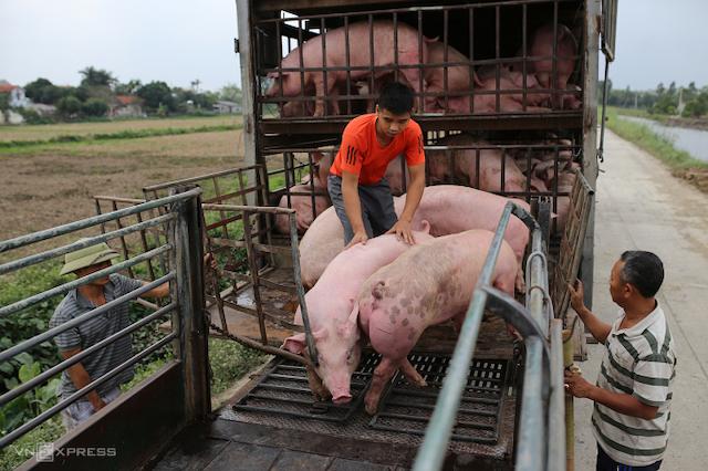 Mua bán heo hơi ở chợ gia súc An Nội, huyện Bình Lục, tỉnh Hà Nam.
