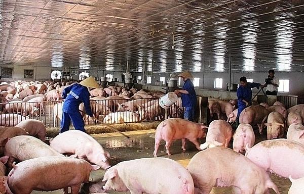 Giá thịt lợn lao dốc, chủ trại nuôi kêu trời vì lỗ tiền tỷ