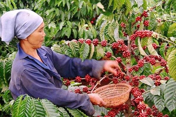 Cà phê xuất khẩu của Việt Nam đạt mức giá cao nhất kể từ tháng 11/2018
