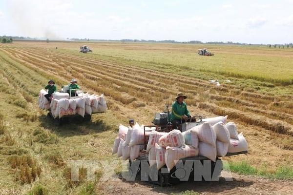 Giá lúa gạo ở Đồng bằng sông Cửu Long có xu hướng tăng