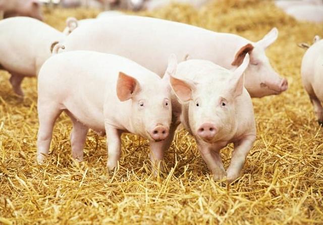 Giá thịt heo giảm sâu, lợi nhuận Dabaco về mức thấp nhất 8 quý