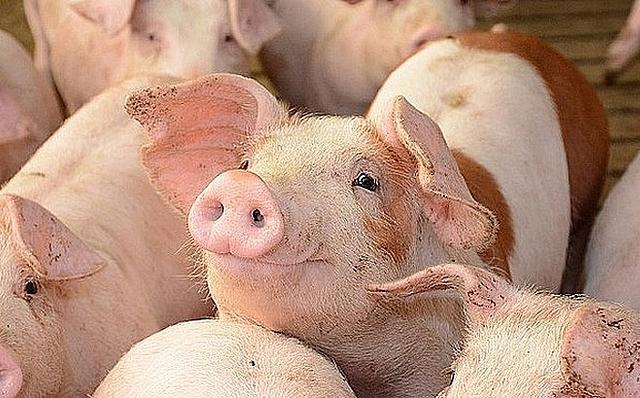 Giá lợn hơi hiện đang ở mức thấp nhất trong vòng 2 năm qua.