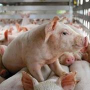 Chăn nuôi Mitraco lãi hơn 3 tỷ đồng tháng 7 và 8, chốt quyền chia cổ tức tỷ lệ 27,1% bằng tiền
